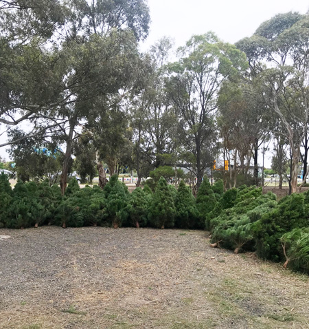 A huge variety of fresh Apex Christmas trees to pick from